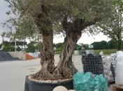 olivier 2